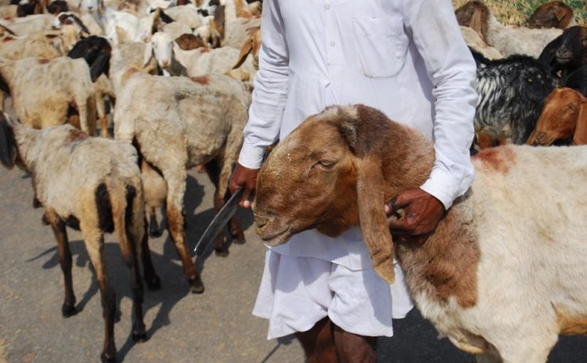 GOATS, SHEEP andSHEPHERDS