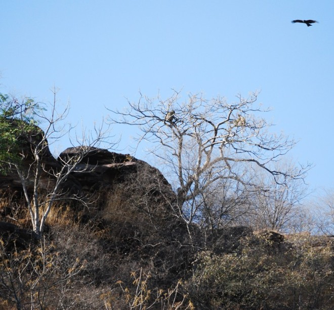 langurs on ghost tree
