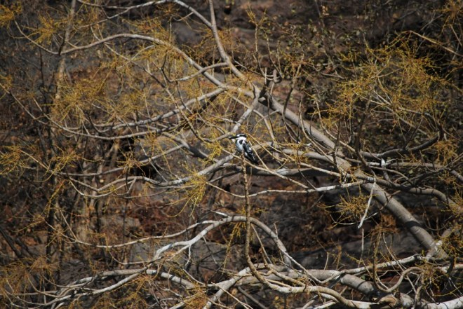 tree with pied KF
