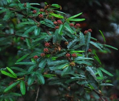 bush with buds