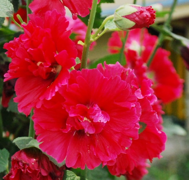 double holly hock