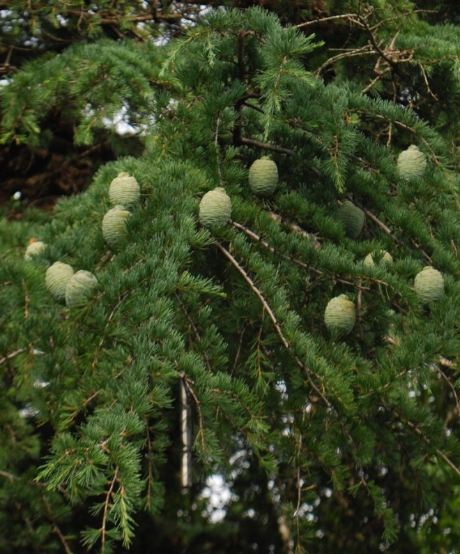 acorns on a limb