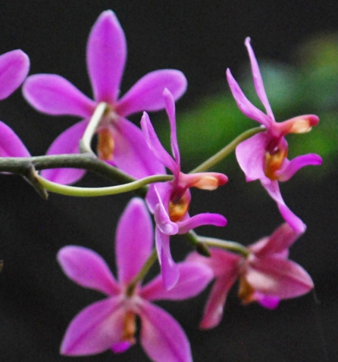 gentle orchids