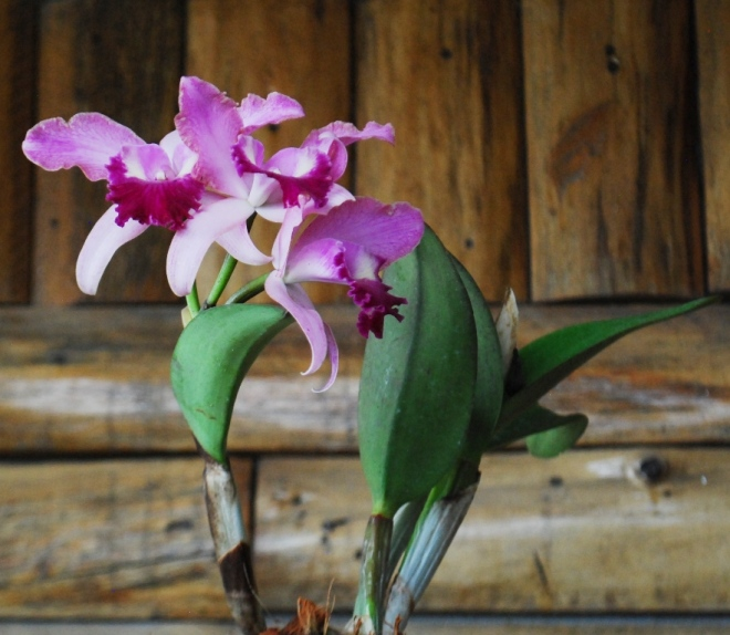 Text book cattleya