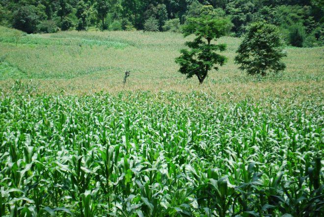 maize feilds