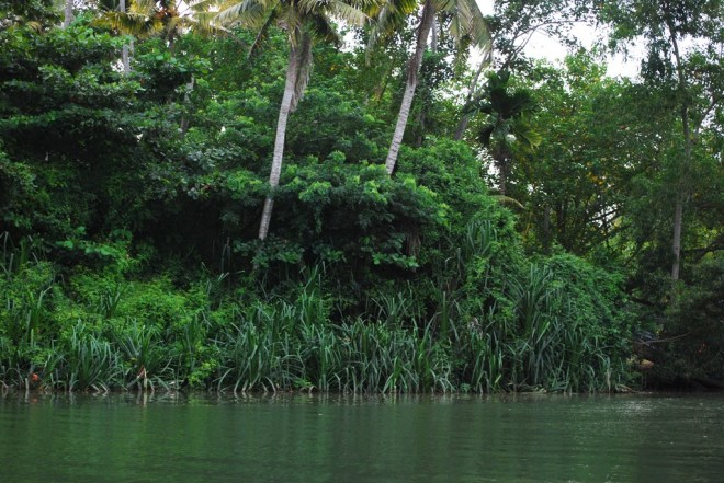 mangrove and screw pines on banks
