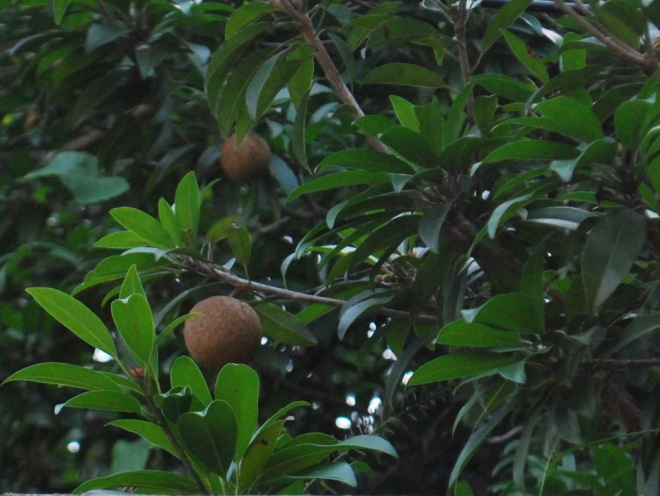 fruit on a tree