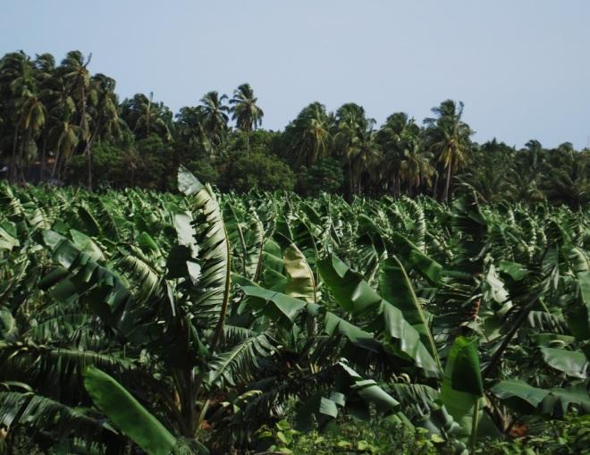plantain plantation