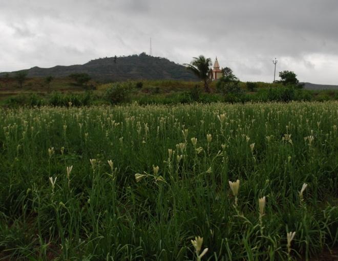 fragrant-fields