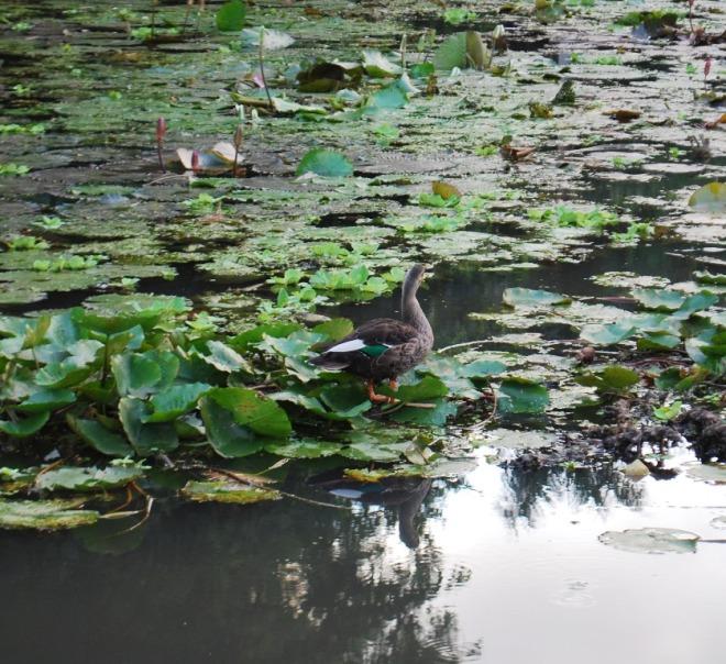 lily pond surprise