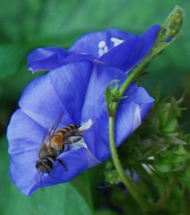 honey-bee-folding
