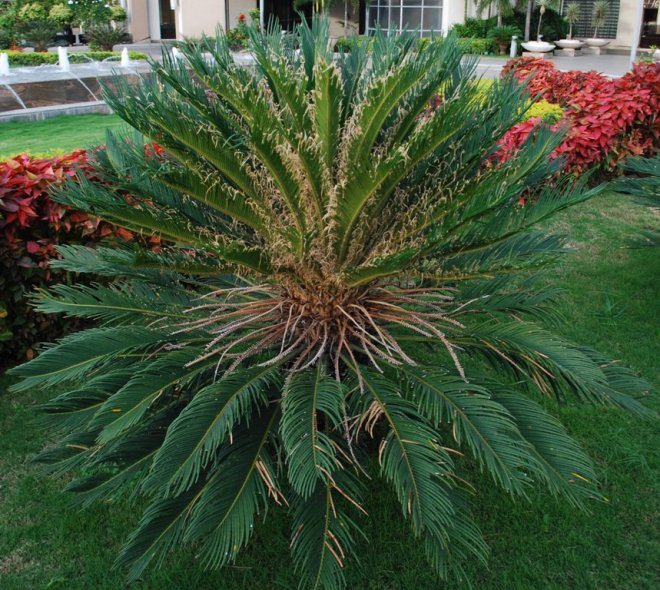 the-palm-without-fruits