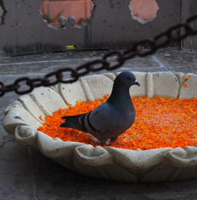 pigeon-bath