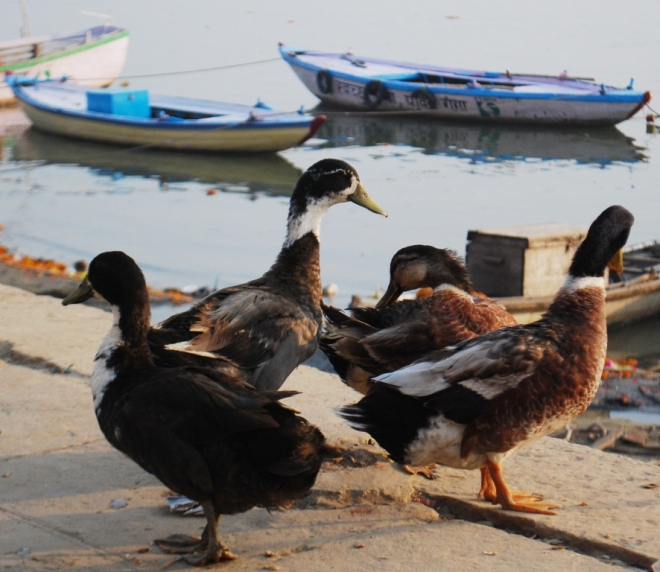 4-ducks-at-kashi