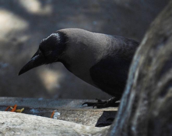 crow-eyes-food