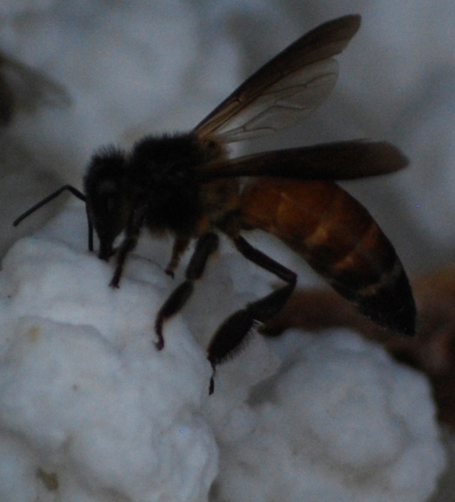bee-on-suger-ball