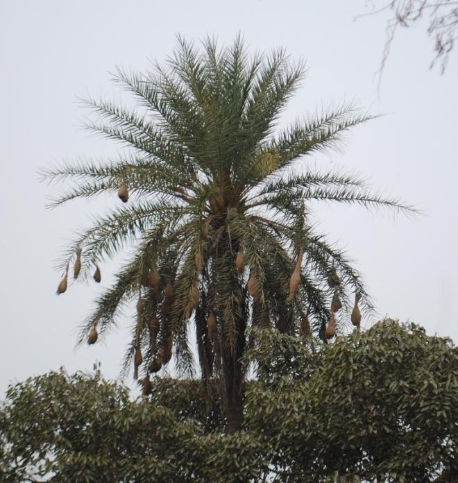 baya-nests